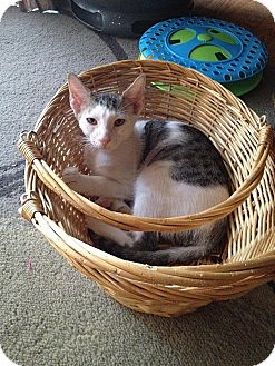 Domestic Shorthair Kitten for adoption in Tampa, Florida - Juju Bee