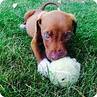 Adopt A Pet :: Julius - Fort Collins, CO
