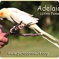 Adopt A Pet :: Adelaide - South Bend, IN