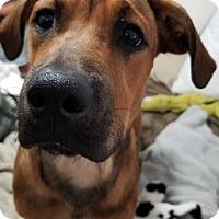 Hound (Unknown Type)/Coonhound Mix Puppy for adoption in Miami, Florida - Sophie