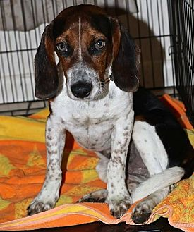 Beagle/Basset Hound Mix Puppy for adoption in Pompano Beach, Florida - Tonto