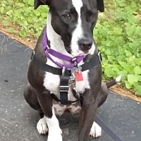 Pit Bull Terrier/American Bulldog Mix Dog for adoption in Livonia, Michigan - Opal - Mn Litter