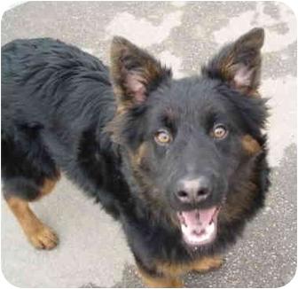 Australian Shepherd/German Shepherd Dog Mix Dog for adoption in Sacramento, California - Asher/Amber!