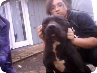 American Pit Bull Terrier Dog for adoption in Killen, Alabama - Urgent- Boss- Courtesy Listing