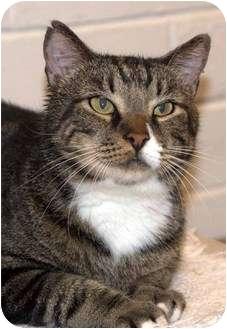 American Shorthair Cat for adoption in New Port Richey, Florida - Mardi