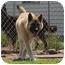 Photo 1 - Akita/German Shepherd Dog Mix Dog for adoption in Barron, Wisconsin - Axle