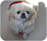 Pekingese Mix Puppy for adoption in Avon, New York - Bettina
