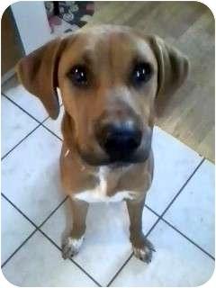 Coonhound (Unknown Type)/Rhodesian Ridgeback Mix Dog for adoption in Troy, Michigan - Buddy