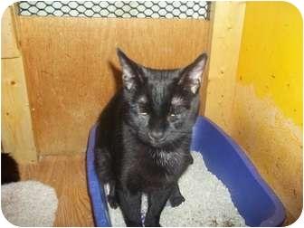 Domestic Shorthair Cat for adoption in Hampton, Virginia - Marko