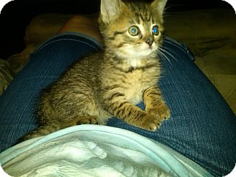 Domestic Shorthair Kitten for adoption in Sterling Hgts, Michigan - Fauna