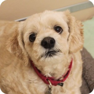 Cockapoo Mix Dog for adoption in Naperville, Illinois - Zoe