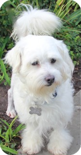 Schnauzer (Miniature)/Poodle (Miniature) Mix Dog for adoption in Norwalk, Connecticut - Raife - Adopted!