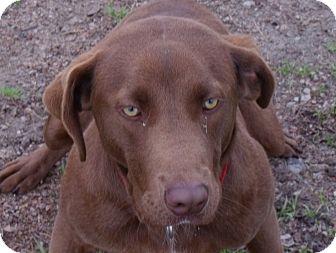 Labrador Retriever Mix Dog for adoption in Fort Valley, Georgia - Champ