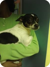 Chihuahua Mix Dog for adoption in Philadelphia, Pennsylvania - Q