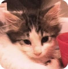 Domestic Mediumhair Kitten for adoption in Franklin, West Virginia - Shaggy - FLUFFY!
