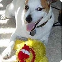 Adopt A Pet :: Jack - Gilbert, AZ