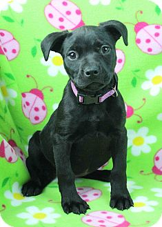 Pit Bull Terrier Mix Puppy for adoption in Westminster, Colorado - Edell