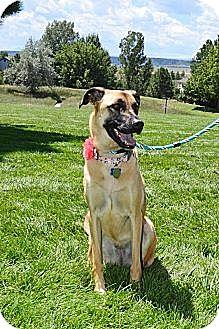 Black Mouth Cur/Labrador Retriever Mix Dog for adoption in Denver, Colorado - Addison