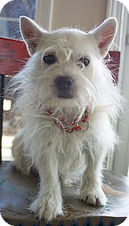 Westie, West Highland White Terrier Mix Dog for adoption in Bluemont, Virginia - WAYLON