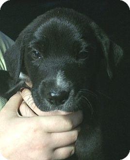 Border Collie/Beagle Mix Puppy for adoption in geneva, Florida - Patrick#3M