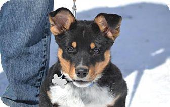 Shepherd (Unknown Type) Mix Dog for adoption in Parkville, Missouri - Ollie