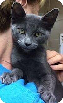 Russian Blue Kitten for adoption in Long Beach, New York - Misha