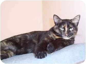 Domestic Shorthair Cat for adoption in Sterling Heights, Michigan - Candy Cane