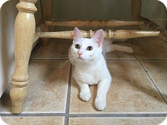 Domestic Shorthair Cat for adoption in Hamilton, New Jersey - ELSA  aka LUNA 2015