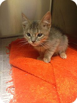 Domestic Shorthair Kitten for adoption in Mine Hill, New Jersey - Nugget