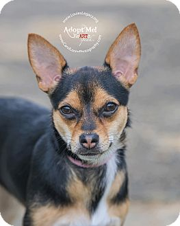 Chihuahua/Jack Russell Terrier Mix Dog for adoption in Cincinnati, Ohio - Prissy
