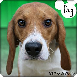 Beagle Dog for adoption in South Plainfield, New Jersey - Dug
