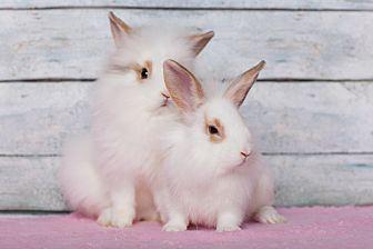 English Spot Mix for adoption in Los Angeles, California - Lionhead X Bunnies!