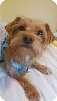 Poodle (Toy or Tea Cup)/Yorkie, Yorkshire Terrier Mix Dog for adoption in La Mirada, California - Pele