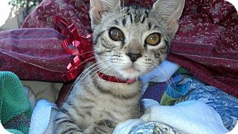 Domestic Shorthair Kitten for adoption in Scottsdale, Arizona - Purr