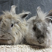 Lionhead Mix for adoption in Newport, Delaware - Ana & Brooklyn