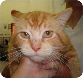 American Shorthair Cat for adoption in Alden, Iowa - Tygger