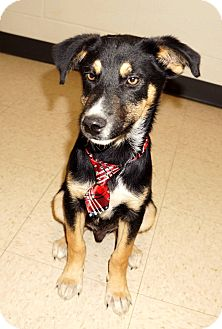 Husky Mix Puppy for adoption in Lexington, North Carolina - GRAVY