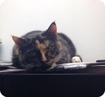 Manx Cat for adoption in Simpsonville, South Carolina - Bella