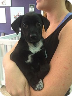 Labrador Retriever/Poodle (Miniature) Mix Puppy for adoption in Thousand Oaks, California - Daisy Mae