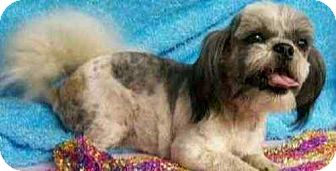 Shih Tzu Dog for adoption in Conway, Arkansas - Fritzie