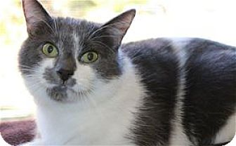Domestic Mediumhair Cat for adoption in Lincoln, California - Stewie