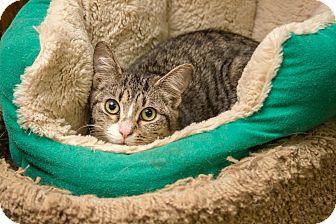 Domestic Shorthair Kitten for adoption in Bronx, New York - Chase