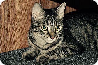 Domestic Shorthair Cat for adoption in Lakeland, Florida - earl