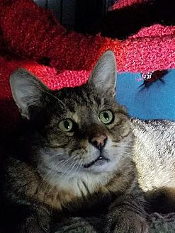 Domestic Shorthair Cat for adoption in Los Angeles, California - Tommy