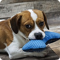 Adopt A Pet :: Dax - Muskegon, MI