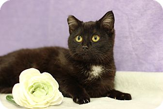 Domestic Shorthair Cat for adoption in Midland, Michigan - Tiny Cat