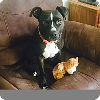 Adopt A Pet :: Domino (COURTESY POST) - Baltimore, MD