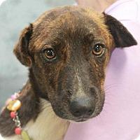 Adopt A Pet :: BJ - Garfield Heights, OH