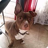 Adopt A Pet :: Zeus - Rosemead, CA