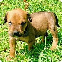 Adopt A Pet :: Whitley - Wharton, TX
